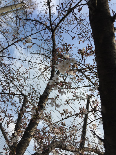 崇禅寺 桜