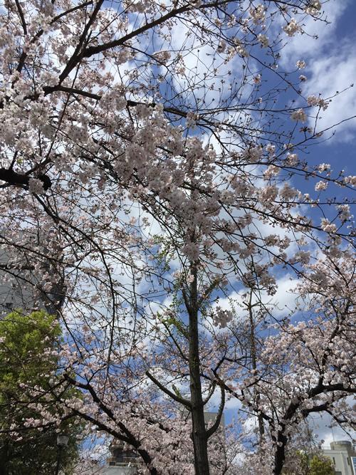 上福島公園 桜