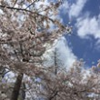 上福島公園 桜 アイコン