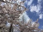 上福島公園の桜を見に来た