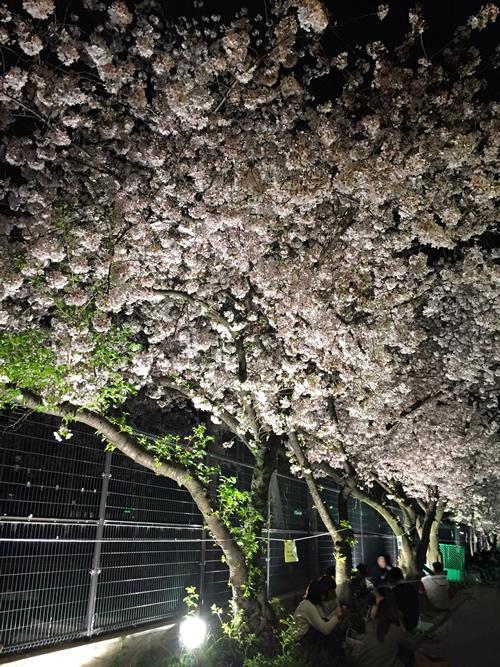 崇禅寺 夜桜